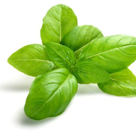 Bazsalikom fűszernövény