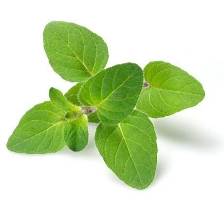 Oregánó fűszernövény