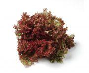 Mosott lollo rosso saláta 1db